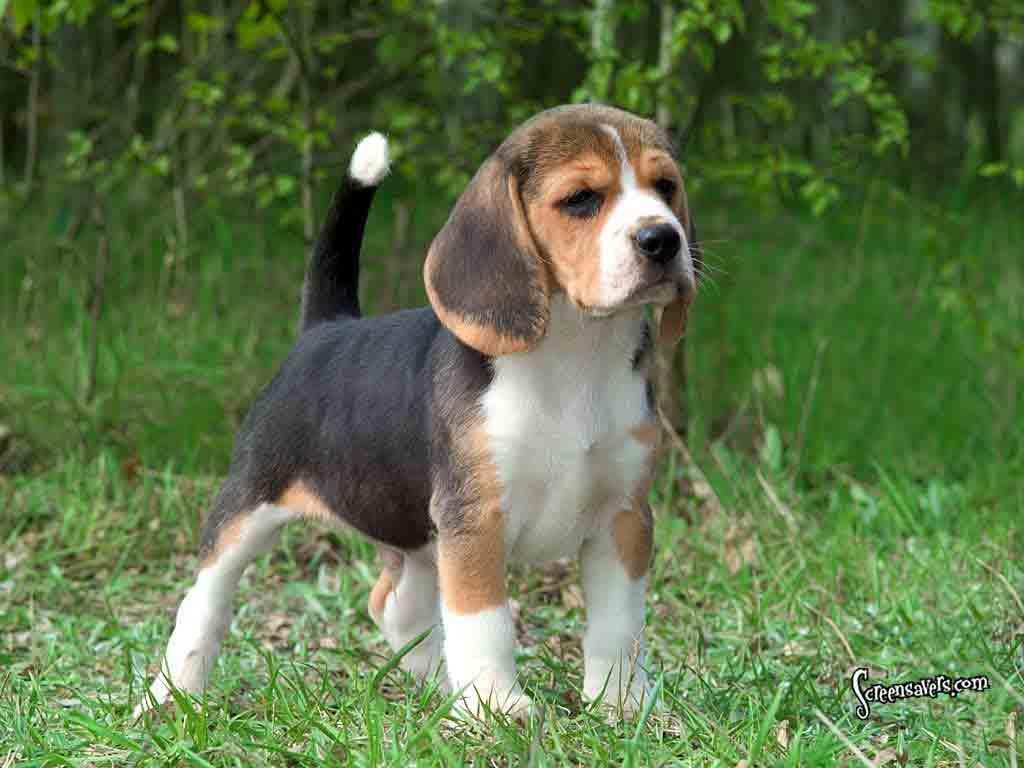 beagle Si anjing Kecil dengan penciuman tajam tanya dokter hewan