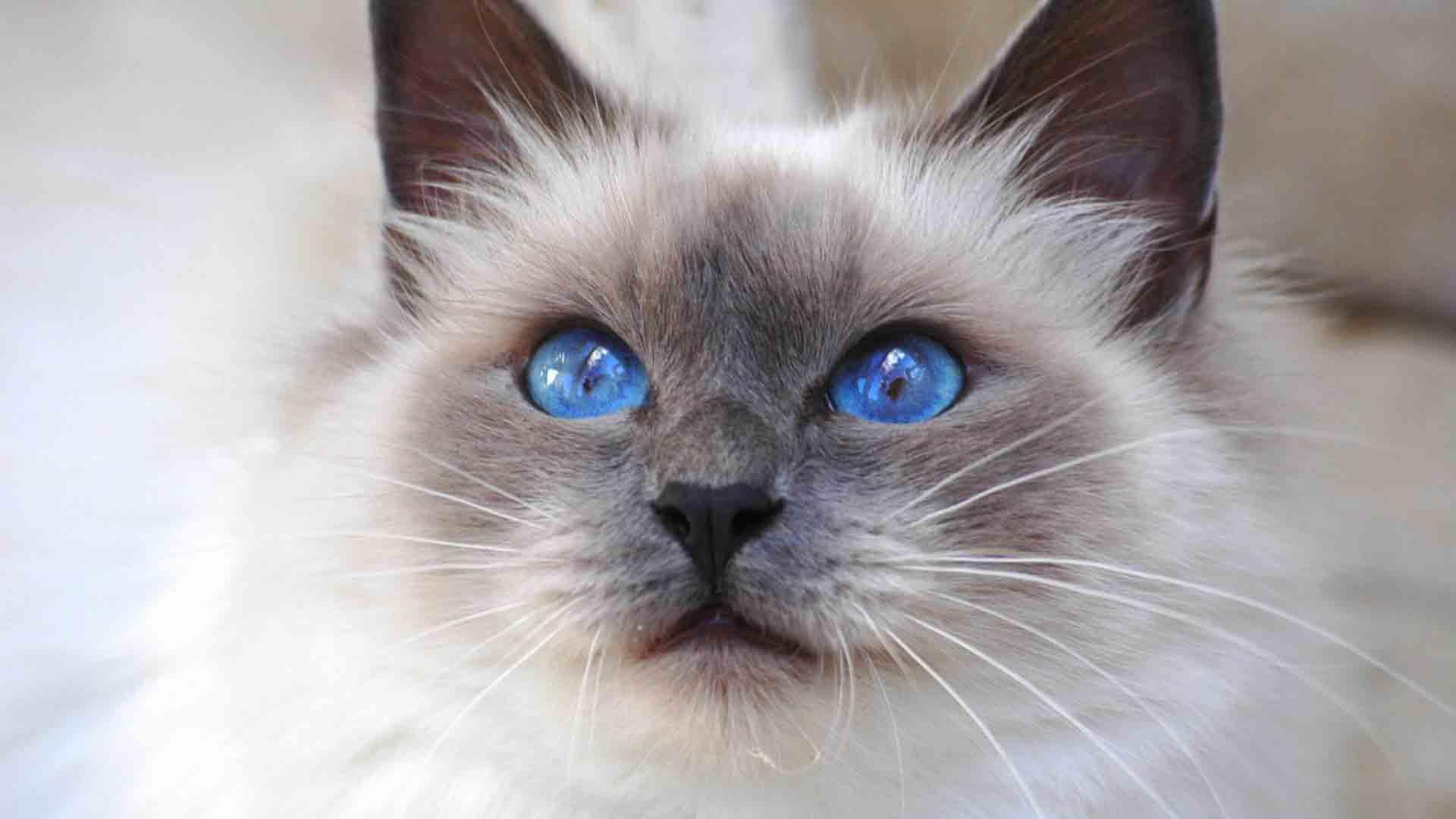 Kucing Pedigree dan Non Pedigree Tanya Dokter Hewan