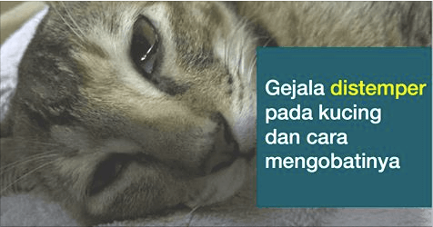 Unduh 66+  Gambar Kucing Anggora Mati Paling Imut