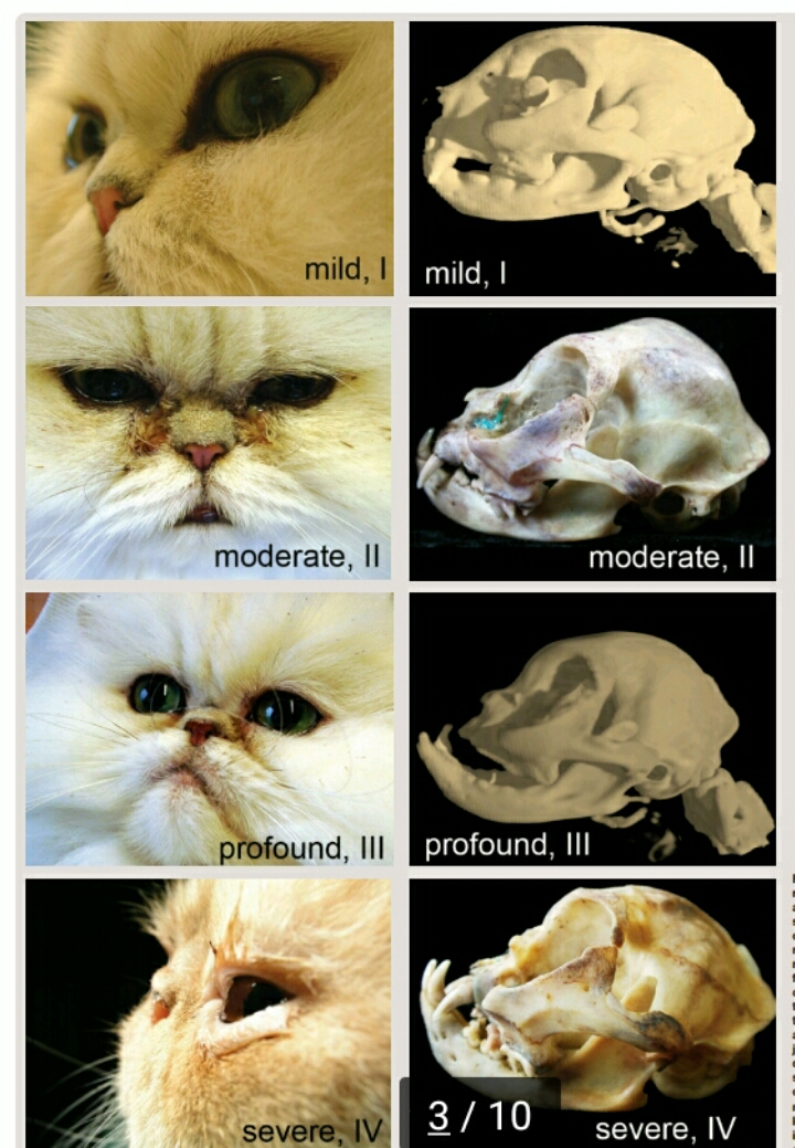 Punya Kucing Hidung Pesek 5 Hal Ini Penting Banget Kamu